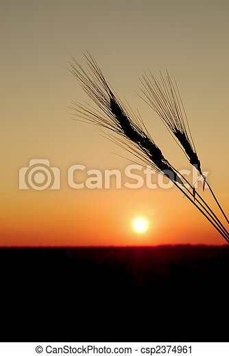 Durum Wheat and Harvest Sunset - csp2374961