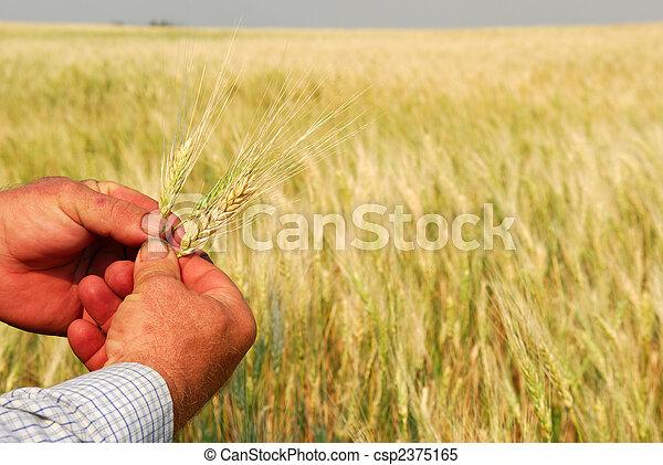 Durum Wheat in Farmer's Hands - csp2375165