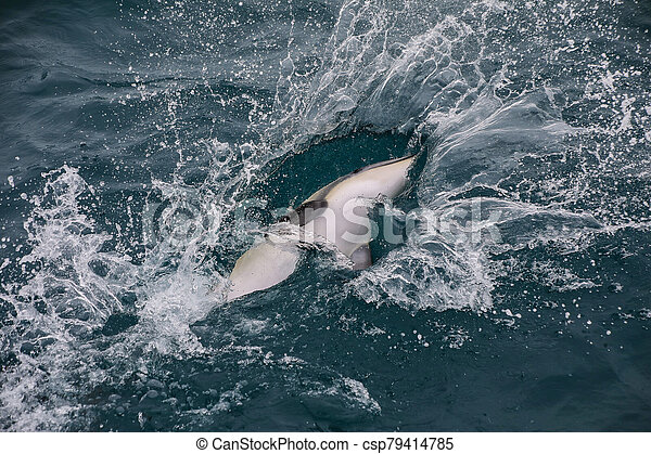 Dusky dolphin playing in the ocean near Kaikoura, New Zealand - csp79414785