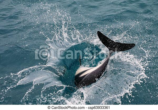 Dusky dolphin playing in the ocean near Kaikoura, New Zealand - csp63933361