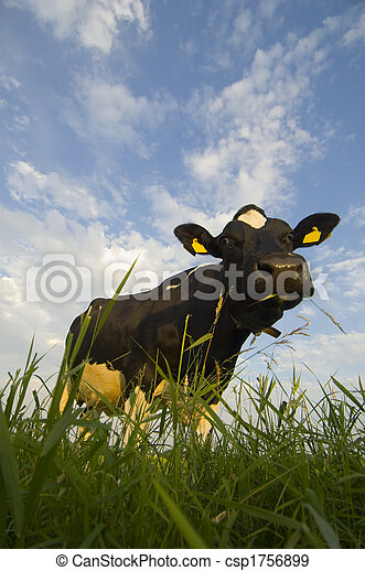 Dutch Cattle - csp1756899