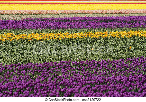 Dutch tulips - csp3129722