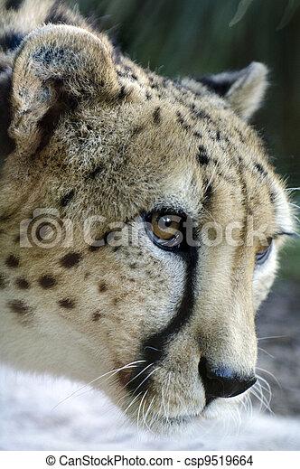 dyr, naturliv, -, gepard - csp9519664