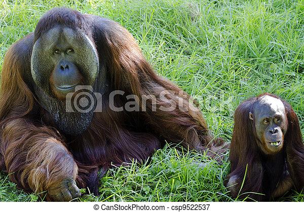 dyr, naturliv, -, orangutan - csp9522537