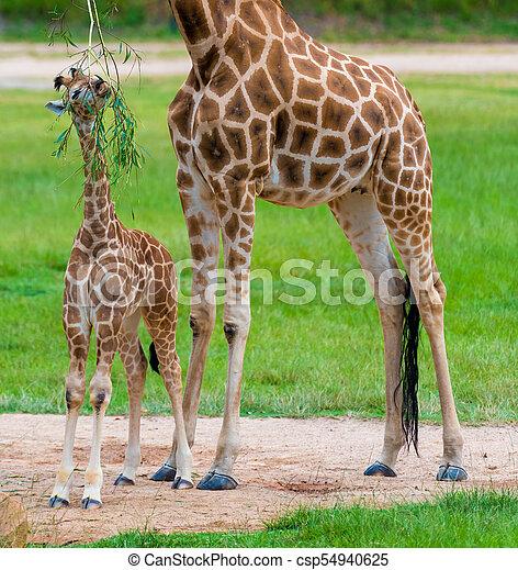 Fin Dyr, unge, baby giraf, afrikansk, mor, dets, indfødt. FE-79