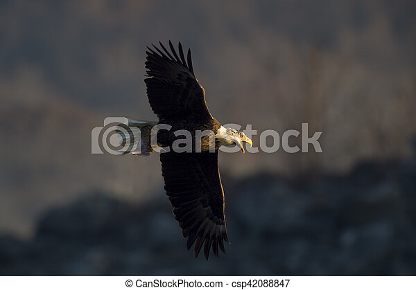 Eagle Calling Out - csp42088847