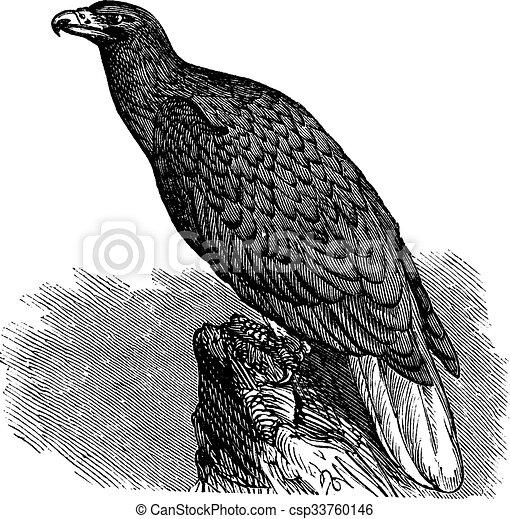 Eagle of Europe (Haliaeetus albicilla) or White-tailed Eagle, vintage engraving. - csp33760146