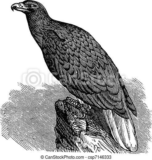 Eagle of Europe (Haliaeetus albicilla) or White-tailed Eagle, vintage engraving. - csp7146333