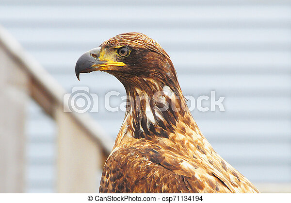 Eagle on the wooden fence background. - csp71134194