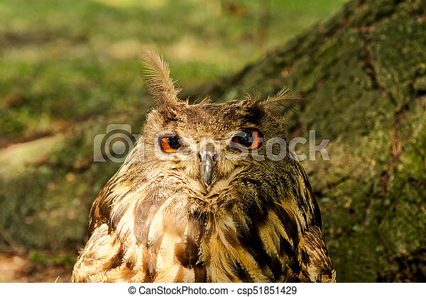 Eagle-owl (Bubo bubo) with blurred background - csp51851429