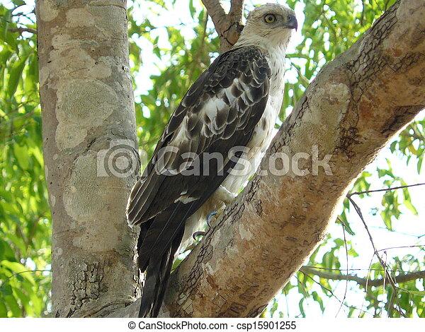 eagle - csp15901255