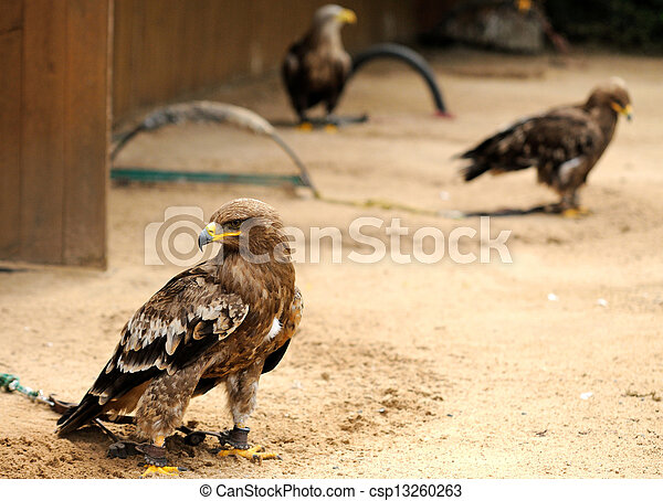 Eagles in ZOO - csp13260263