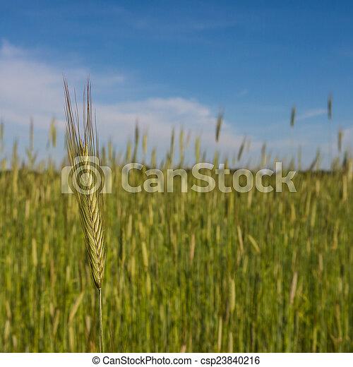 ear of barley - csp23840216