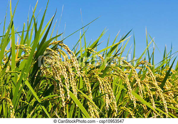 Ear of rice and the blue sky - csp10953547