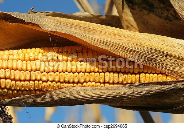 ear of ripe corn in husk - csp2694065