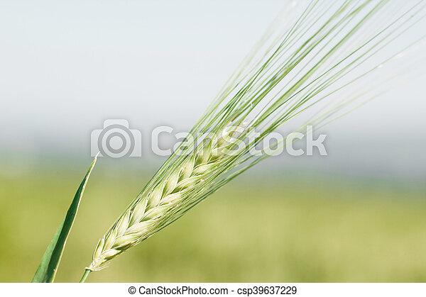 Ear of wheat macro in spring. - csp39637229