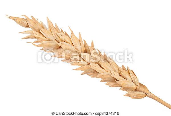 Ear of wheat. Macro - csp34374310