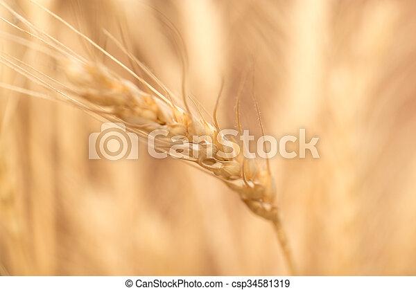 ear of wheat. macro - csp34581319