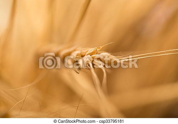 ear of wheat. macro - csp33795181