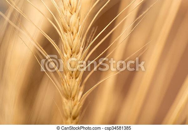 ear of wheat. macro - csp34581385
