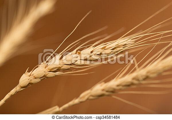 ear of wheat. macro - csp34581484