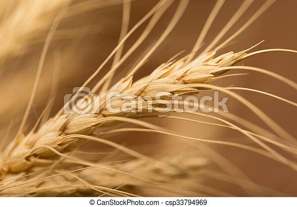 ear of wheat. macro - csp33794969