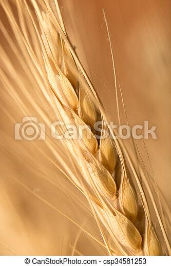 ear of wheat. macro - csp34581253