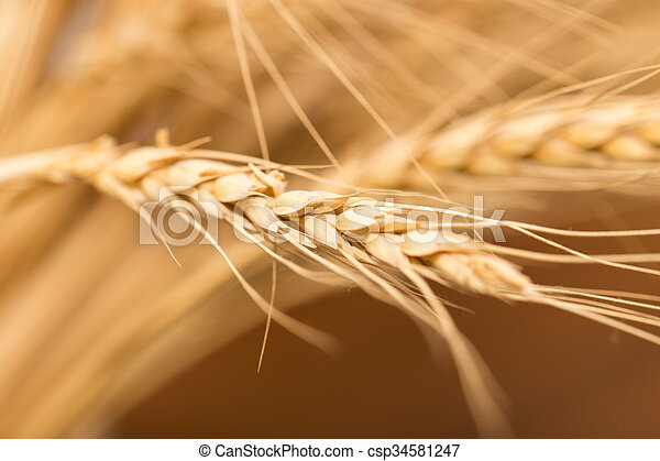 ear of wheat. macro - csp34581247