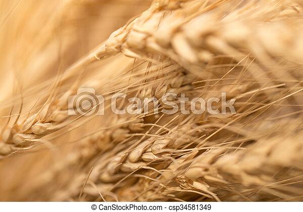 ear of wheat. macro - csp34581349