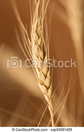 ear of wheat. macro - csp34581429