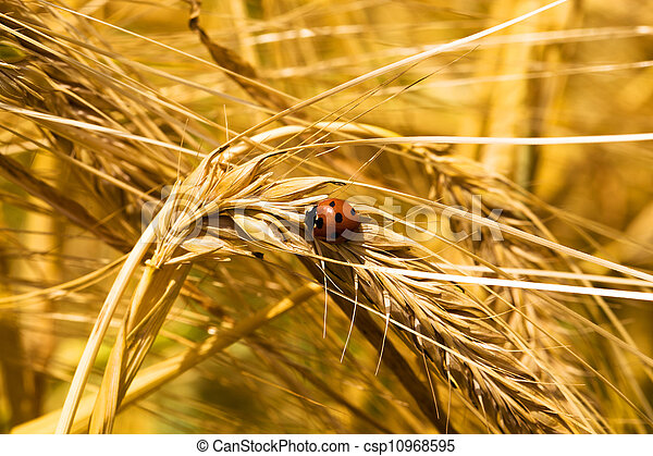 ear of wheat (macro) - csp10968595