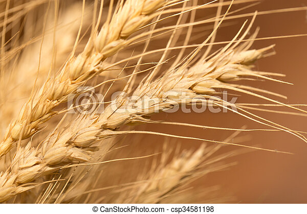 ear of wheat. macro - csp34581198
