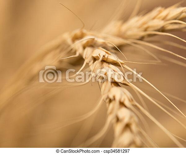 ear of wheat. macro - csp34581297