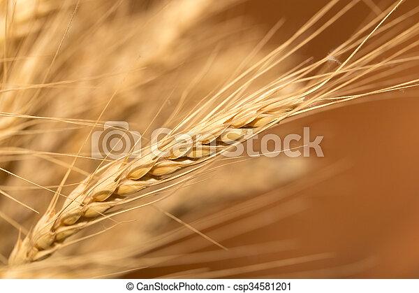 ear of wheat. macro - csp34581201