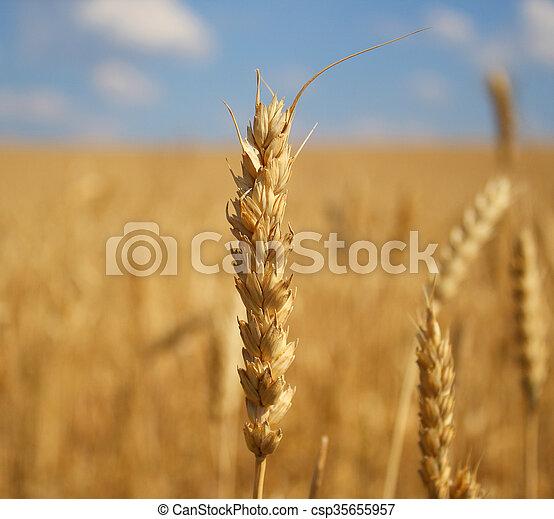 ear of wheat - csp35655957