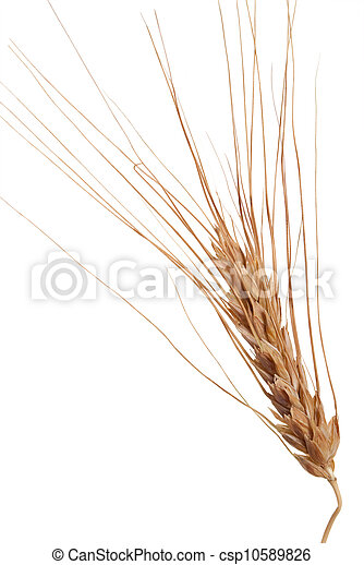 Ear of wheat - csp10589826