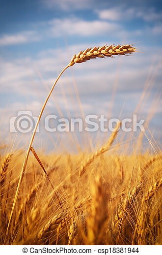 Ear of wheat - csp18381944