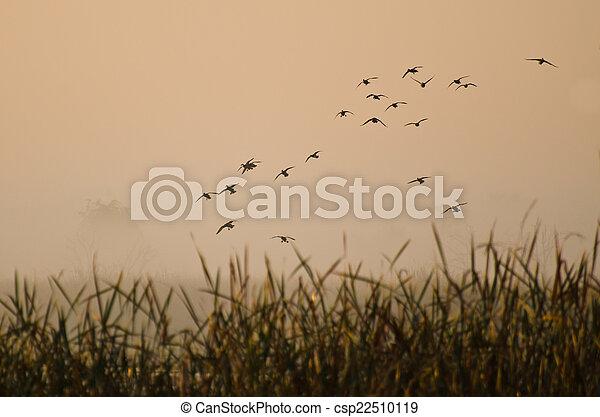 Early Morning Flight of Ducks Above Foggy Marsh - csp22510119