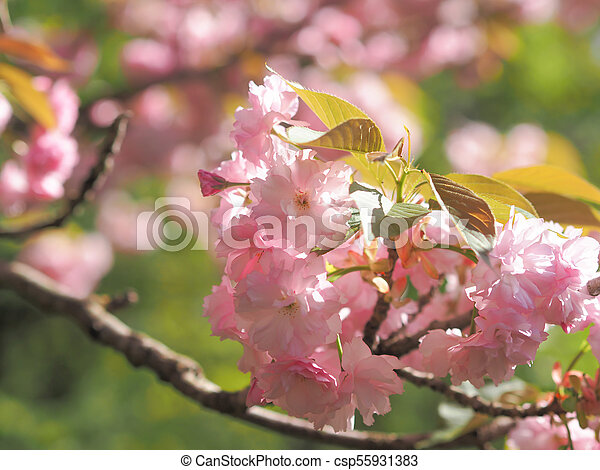 Early spring lush sakura tree bllossom big pink flowers early early spring lush sakura tree bllossom big pink flowers csp55931383 mightylinksfo