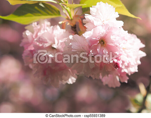 Early spring lush sakura tree bllossom big pink flowers close up early spring lush sakura tree bllossom big pink flowers close up csp55931389 mightylinksfo