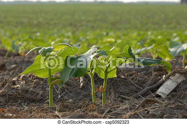 Early summer soy bean plants in field in south western Ontario - csp5092323