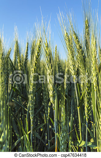 Ears of barley in a field, agricultural concept. - csp47634418