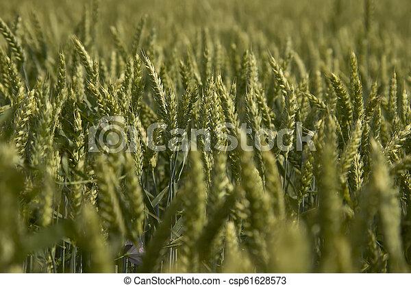Ears of barley in a field - csp61628573