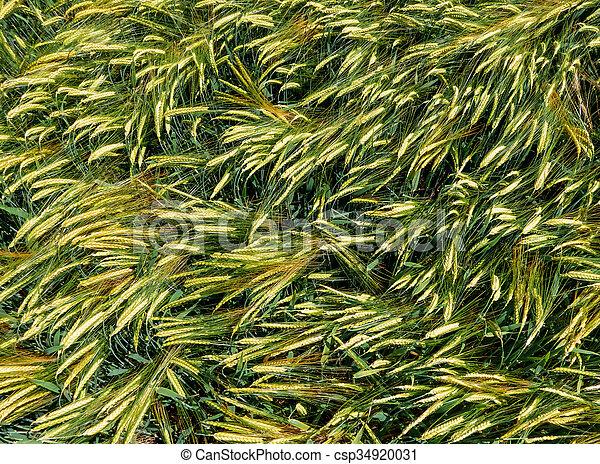 Ears of barley in a field - csp34920031