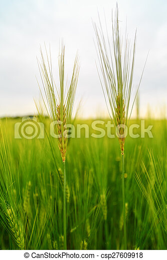 ears of barley in the field - csp27609918
