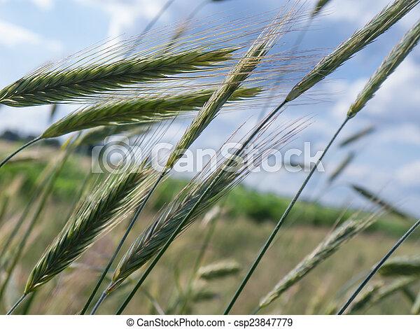 Ears of barley - csp23847779