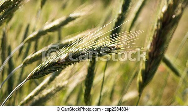 Ears of barley - csp23848341