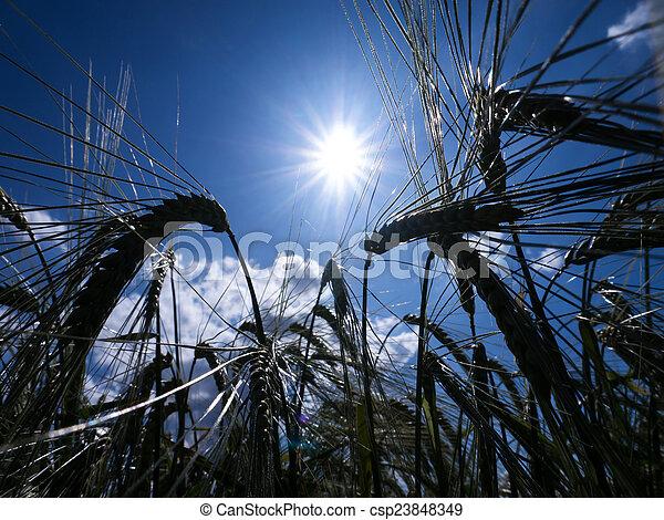 Ears of barley - csp23848349