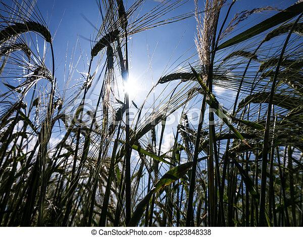 Ears of barley - csp23848338