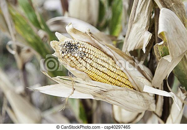 Ears of corn on a farm - csp40297465